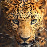 """Репродукция на холсте """"Леопард"""""""