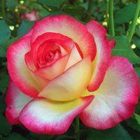 """Роза чайно-гибридная """"Лео Ферре"""""""