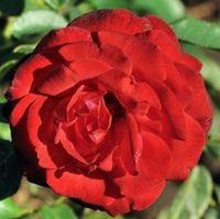 """Роза флорибунда """"Фок де Табара"""""""