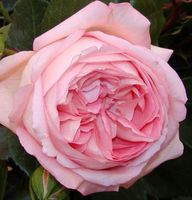 "Роза чайно-гибридная ""Хистори"""