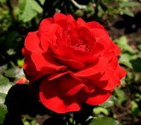 """Роза флорибунда """"Нина"""""""