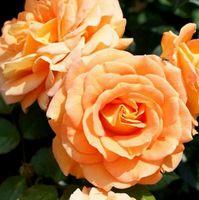 """Роза флорибунда """"Голдэльзе"""""""