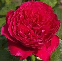 """Роза флорибунда """"Алэн"""""""