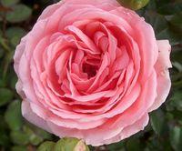 """Роза флорибунда """"Кимоно"""""""