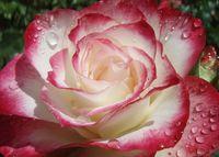 """Роза чайно-гибридная """"Роуз Гуярд"""""""