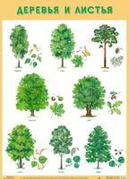 Развивающие плакаты. Деревья и листья